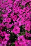 与开花的草甸的夏天风景有花的 免版税库存照片