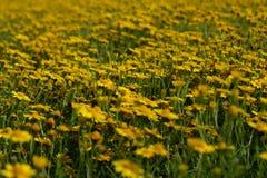 与开花的草甸的夏天风景有花的 免版税图库摄影
