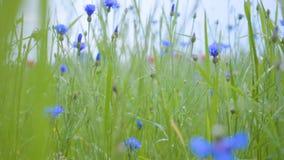 与开花的野花的领域 o 夏令时秀丽 概念的绿色和蓝色 股票录像
