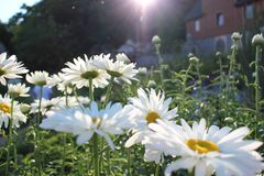 与开花的雏菊的领域 库存图片