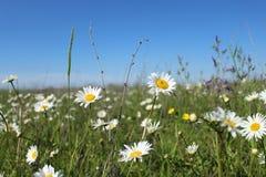 与开花的雏菊的领域 免版税库存图片