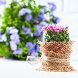 与开花的仙人掌在白色背景Mammillaria 免版税库存图片