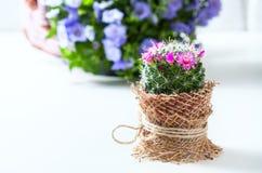 与开花的仙人掌在白色背景Mammillaria 库存照片