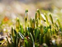 与开花的Snowdrop在阳光,春天花复兴,唤醒自然 库存图片
