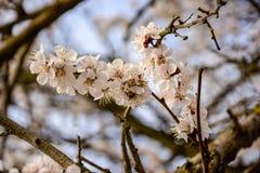 与开花精美杏子花的抽象自然本底 免版税库存图片
