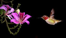 与开花花的五颜六色的蜂鸟 库存照片