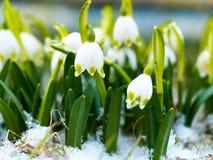 与开花,春天花复兴在雪的,唤醒的Snowdrop自然 免版税库存图片