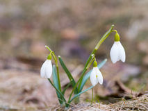 与开花,春天花复兴,唤醒的Snowdrop自然 库存照片