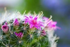 与开花Mammillaria的仙人掌 选择聚焦 免版税库存照片