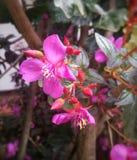 与异乎寻常的尖和触手形状的桃红色花 免版税库存图片