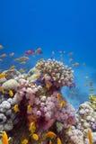 与异乎寻常的鱼的五颜六色的珊瑚礁在红海底层  图库摄影