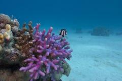 与异乎寻常的鱼的珊瑚礁在海运底层  免版税库存图片