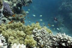 与异乎寻常的鱼的珊瑚礁在红色底层  免版税库存照片