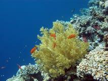 与异乎寻常的鱼anthias的珊瑚礁 免版税图库摄影