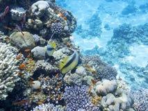 与异乎寻常的鱼Anthias和教育bannerfish,水中的珊瑚礁 免版税图库摄影