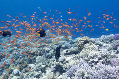 与异乎寻常的鱼anthias浅滩的珊瑚礁在热带海, 免版税库存照片