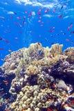 与异乎寻常的鱼anthias的五颜六色的珊瑚礁在热带海底部  库存图片