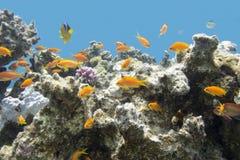与异乎寻常的鱼anthias的珊瑚礁在热带海,水下 免版税库存图片