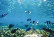 与异乎寻常的鱼Dascillus的水下的风景在蓝色海水海里的照片 免版税库存图片