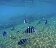 与异乎寻常的鱼Dascillus的水下的风景 蓝色海水和沙子seabottom 库存照片