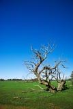 与异常的死的树的草地 免版税图库摄影