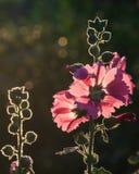 与弄脏的桃红色花被研的和光线影响,泰国 库存照片