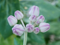 与弄脏的淡色紫色雄鸭芽花 库存图片