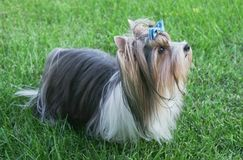 与弓的美丽的公狗品种海狸约克夏狗在绿色草坪 图库摄影