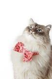 与弓领带的西伯利亚猫在白色背景垂直 免版税图库摄影