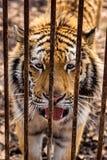 与张的嘴的哀伤的西伯利亚人阿穆尔河老虎在生锈的笼子后 免版税图库摄影