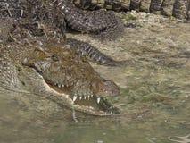 与张的嘴的鳄鱼 库存照片