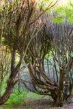 与弯曲的分支的令人惊讶的树在老森林里 免版税库存照片