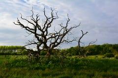 与弯曲的分支的老树在领域,诺福克,英国 免版税库存照片