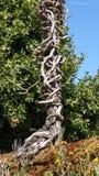 与弯曲的分支的死的老树 免版税库存照片