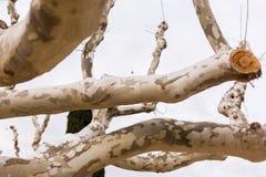 与弯曲的切好的树的秃头树 库存图片