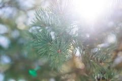 与强光的圣诞树分支从太阳 图库摄影
