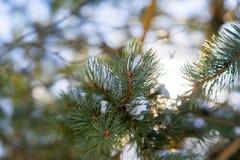 与强光的圣诞树分支从太阳 免版税库存图片