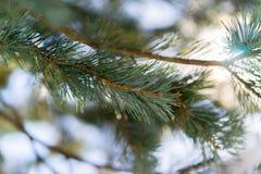 与强光的圣诞树分支从太阳 免版税库存照片