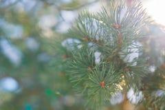 与强光的圣诞树分支从太阳 免版税图库摄影