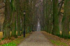 与强有力的树干的长的胡同树在秋天 免版税库存照片