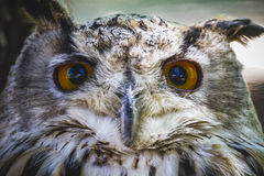 与强烈的眼睛的逗人喜爱,美丽的猫头鹰和美丽的全身羽毛 库存照片