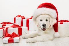 与当前礼物盒,白色猎犬,圣诞老人帽子的圣诞节狗 库存图片