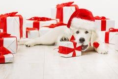与当前礼物,圣诞节白色猎犬的新年狗 免版税库存图片