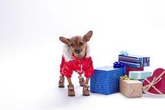 与当前箱子的逗人喜爱的微小的狗 库存图片