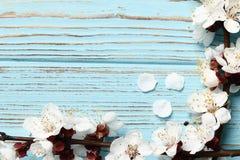 与很多桃红色开花的两个春天开花的分支在蓝色木背景 免版税图库摄影