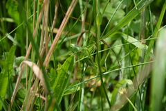 与很好短的翼的蚂蚱在草的乔装 免版税库存照片