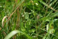 与很好短的翼的蚂蚱在草的乔装 库存图片