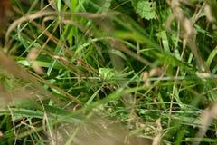 与很好短的翼的蚂蚱在草的乔装 图库摄影