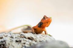 与微小的花片断的变色蜥蜴在头的 免版税库存图片