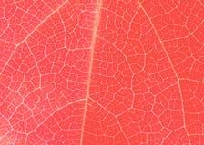 与微小的静脉的居住的珊瑚叶子纹理 免版税库存照片